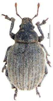 Philopedon plagiatum (Schaller, 1783)
