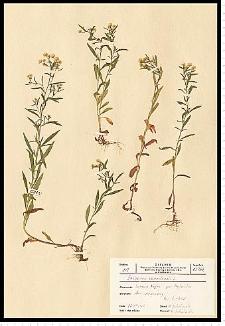 Conyza canadensis (L.) Cronquist
