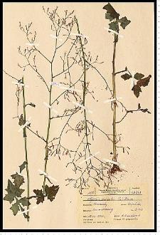 Mycelis muralis (L.) Dumort.