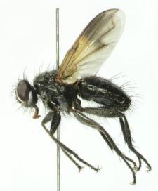 Paykullia maculata (Fallen, 1815)