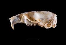 Neotoma lepida