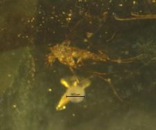 Protohoraiella yvonnae