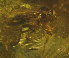 Mycetobia silvia