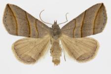 Colobochyla salicalis