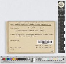 Coniophorella olivacea (Fr.) Karst.