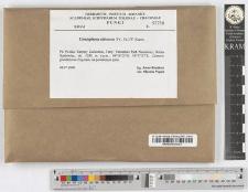 Coniophora olivacea (Fr.:Fr.) P. Karst.