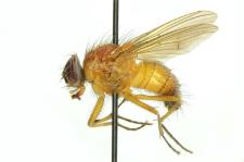 Thricops diaphanus (Wiedemann, 1817)