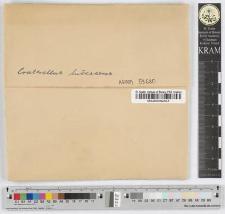 Craterellus lutescens