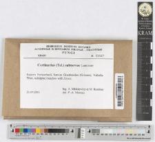 Cortinarius subtorvus Lamoure