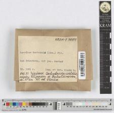 Agaricus hortensis (Cke.) Pil.