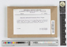 Amanita submembranacea (Bon) Gr?ger