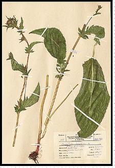 Serratula tinctoria L.