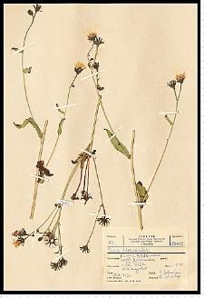 Picris hieracioides L.