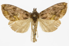 Lamprotes c - aureum