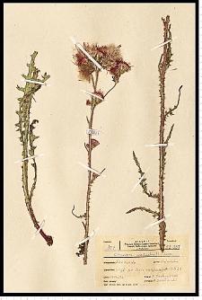Cirsium palustre (L.) Scop.