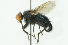 Cynomya mortuorum (Linnaeus, 1761)