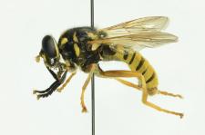Temnostoma vespiforme (Linnaeus, 1758)
