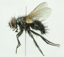 Lydella stabulans (Meigen, 1824)
