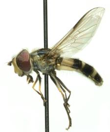 Leucozona laternaria (Muller, 1776)