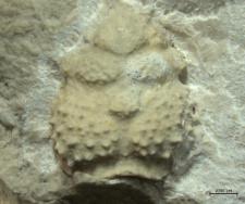 Verrucarcinus torosus
