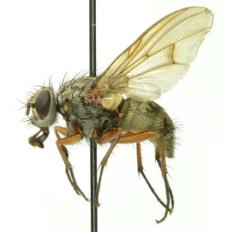 Phaonia errans (Meigen, 1826)