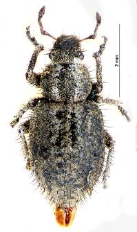 Cycloderes pilosulus (J.F.W. Herbst, 1795)