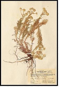 Matricaria maritima L. subsp. inodora (L.) Dostál
