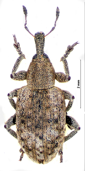 Hypera rumicis (Linnaeus, 1758)
