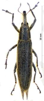 Lixus paraplecticus (Linnaeus, 1758)