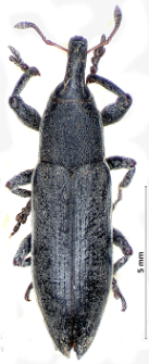 Lixus ascanii (Linnaeus, 1767)