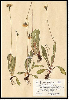 Leontodon hispidus L.