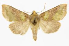 Diachrysia chrysitis