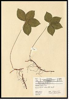 Paris quadrifolia L