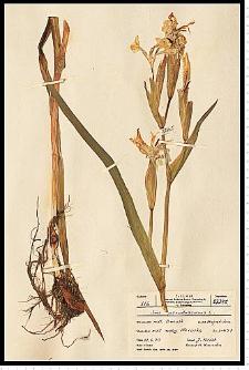 Iris pseudacorus L.