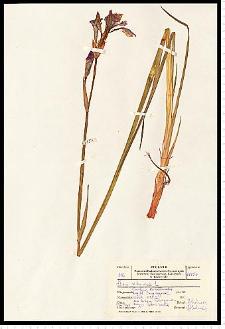 Iris sibirica L.