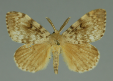 Lymantria dispar (Linnaeus, 1758)