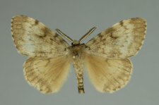 Lymantria dispar (Linnaeus, 1758)