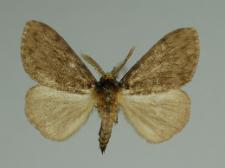 Lymantria monacha (Linnaeus, 1758)