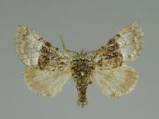 Colocasia coryli (Linnaeus, 1758)
