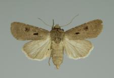 Agrotis exclamationis (Linnaeus, 1758)