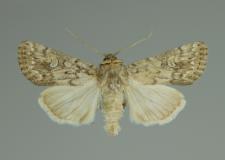 Dichagyris forcipula (Denis & Schiffermüller, 1775)