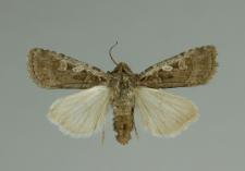 Euxoa tritici (Linnaeus, 1761)