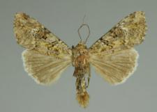 Anaplectoides prasina (Denis & Schiffermüller, 1775)