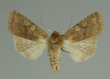 Cerastis leucographa (Denis & Schiffermüller, 1775)