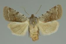 Cerastis rubricosa (Denis & Schiffermüller, 1775)