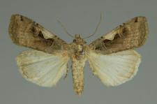 Xestia c-nigrum (Linnaeus, 1758)