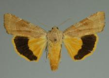 Noctua fimbriata (Schreber, 1759)