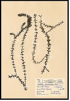 Elodea canadensis Michx