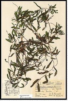 Potamogeton crispus L.