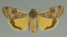 Noctua pronuba (Linnaeus, 1758)